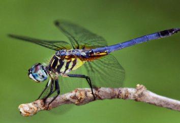 Gli insetti – sono i rappresentanti del tipo di artropodi. Caratteristiche della struttura e del funzionamento