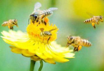 Miele di bosco – un prodotto d'elite. proprietà e applicazioni utili