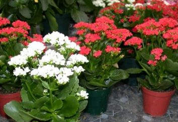 flores Kalanchoe – boa sorte!
