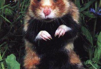 hamster comum: a descrição do conteúdo e fotos