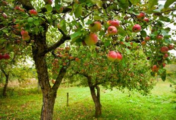 Apple Tree Campione: descrizione della varietà. Caratteristiche Campione mela