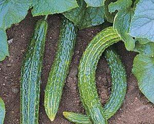 """Pepino """"fluxo de esmeralda."""" Descrição das variedades de pepino"""