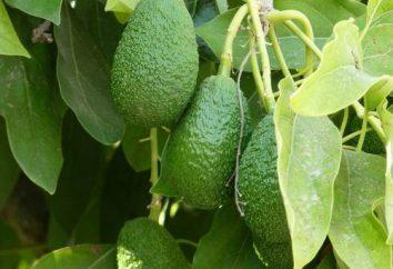 Awokado – owoc lub warzywo? Masz pytanie, musimy – odpowiedź