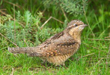 Torticolis: pourquoi ce qu'on appelle oiseau? Fourmilier – famille d'oiseau de pivert