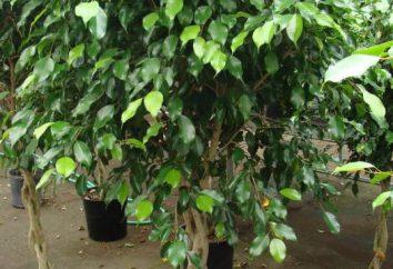 Ficus benjamina: segni e superstizioni, come crescere
