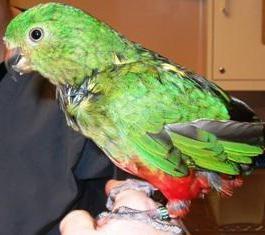 Dlaczego pióra papug wypadają? Co robić w takich przypadkach?