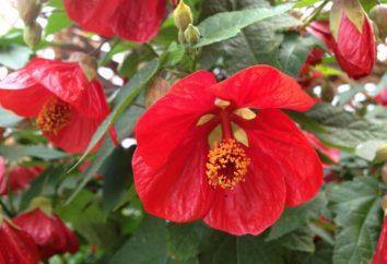 Rośliny kwiatowe do doniczek: zdjęcie i opis