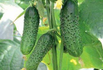 Pepinos Fontanelle. Características de cultivo