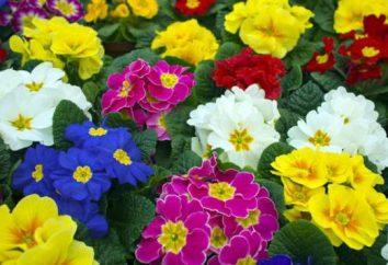 Primula giardino perenne: la semina, cura, foto
