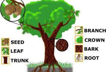 structure arborescente: schéma. Caractéristiques de la structure extérieure de l'arbre