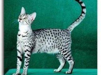 Spotted koty: rasa. Kot brytyjski dostrzegł