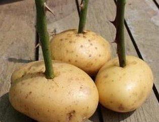 Comment reproduire les boutures de rose: préparation, mise en place, la plantation