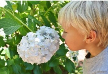 Kwiat hortensja. Uprawa