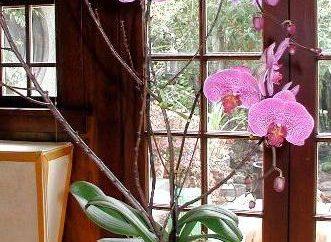 """Jak sit orchidei podziału sposób i za pomocą rozmnażania """"dzieci"""""""