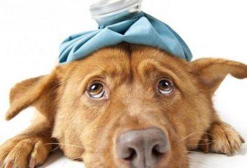 Które pozwalają psów z alergią? Leczenie i profilaktyka