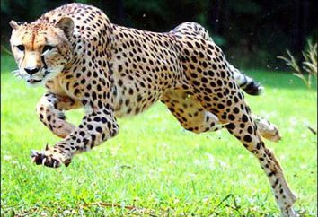 Azjatycka gepard: opis, zdjęcia