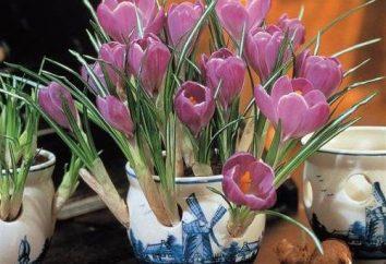 Crocus in un vaso: come prendersi cura di e crescere