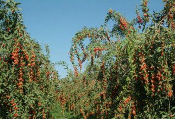Yagoda goji – reseñas de los médicos. El uso de bayas de goji. Tibetan goji berries opiniones