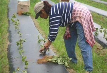 Kiedy i jak przeszczepić truskawki?