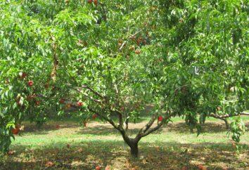 Wie ein Pfirsich in der Mitte Gürtel Russlands wachsen?