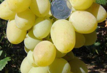 """Uvas """"Lily"""": descrição, características, funcionalidades de cultivo"""