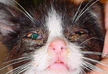 larmoiement du chat – première simtom sa maladie transmissible. Symptomatologie et le traitement de certaines maladies.