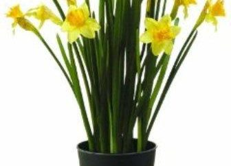 Come far crescere una stanza fiore (bulbo)?