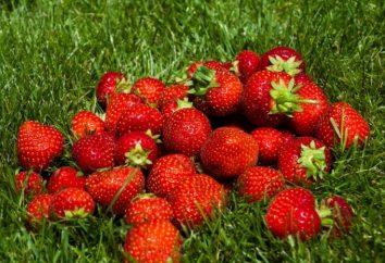 Fertilizantes para morangos – refeições para toda a estação