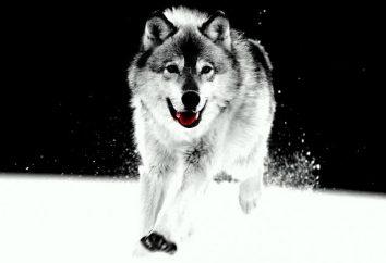 Ciekawostką na temat wilków. Wilk i wilk