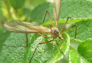 Crane fly – bezpieczne karmienie owadów na nektarze