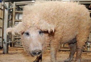 Hongrois mangalica (race de porc) – description, photo, commentaires