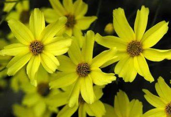 Coreopsis longa – decoração de jardim