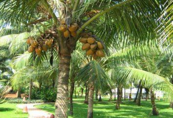 Jak i gdzie rosną kokosy?