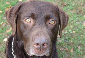 Charakterystyka rasy Labrador: Co wiemy o tych psów?