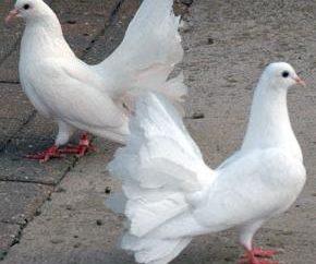 Combien de pigeons vivent, donc nous surprendre!