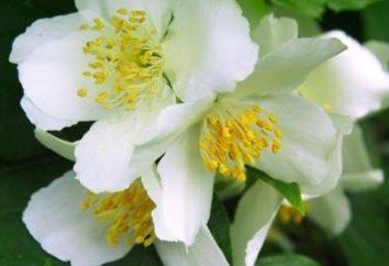 Pachnące kwiaty jaśminu w swoim ogrodzie