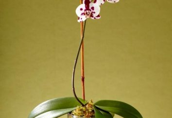 7 consejos, cómo replantar una orquídea