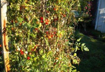 fusariose de tomates – une maladie qui est plus facile à prévenir que guérir