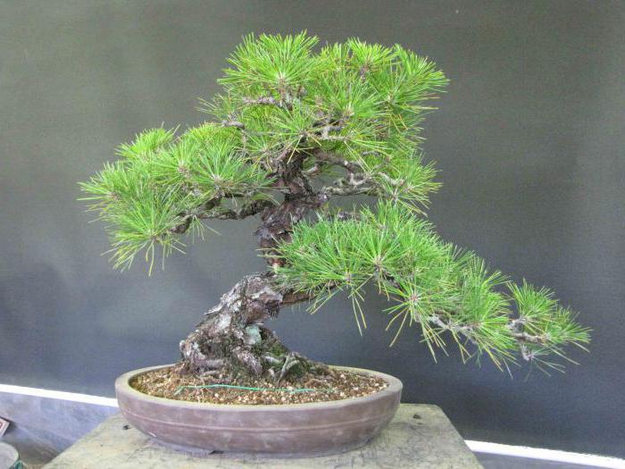 cu l es bonsai c mo hacer crecer un rbol en miniatura. Black Bedroom Furniture Sets. Home Design Ideas