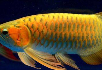 Aravan (poissons): description, contenu, soins et commentaires