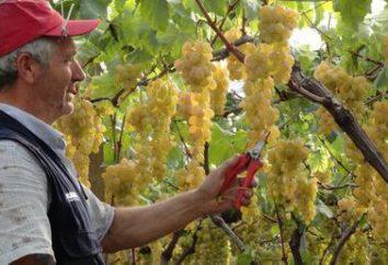 Uvas original: descrição da variedade. Características do cultivo de uvas Original