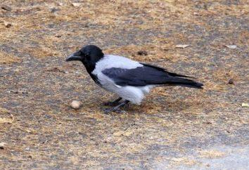 Gray crow – intelligente rappresentante del mondo degli uccelli