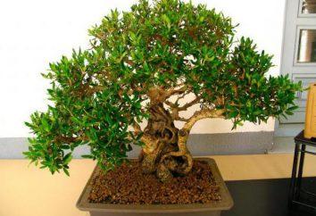 Ficus small-leaved: zasady uprawy i opieki