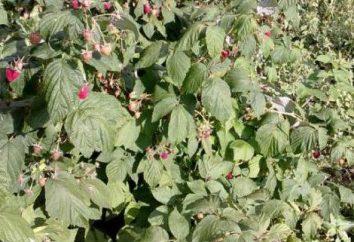 Raspberry Gusar: Descrição. As novas variedades de alto rendimento de framboesas
