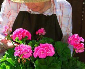 alféizar de la ventana favorita: pelargonium Real, el cuidado en el hogar