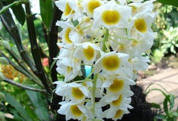 Dendrobium: opieka. Co zrobić, gdy pąk orchidei?