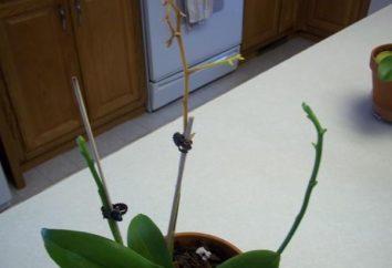 Quando l'orchidea è emersa, cosa devo fare? Alcuni semplici consigli per la cura