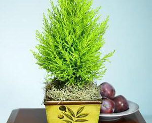 Cypress casa: come prendersi cura di conifere?