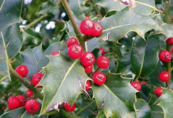 Ilex aquifolium. Agrifoglio ordinaria o agrifoglio
