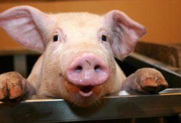 porco doméstico: onde ele mora?